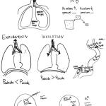 Respiratory system summary part 2; 2014, drafts for interview